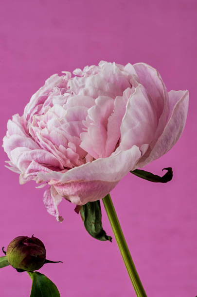 Pink Peony with a Pink Background stock photo