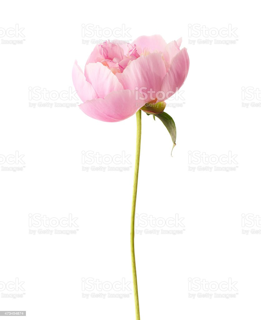 Pink peony with a single leave in white background stock photo