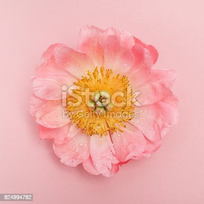 Pink peony with water drops on pink background. Top view, flat lay
