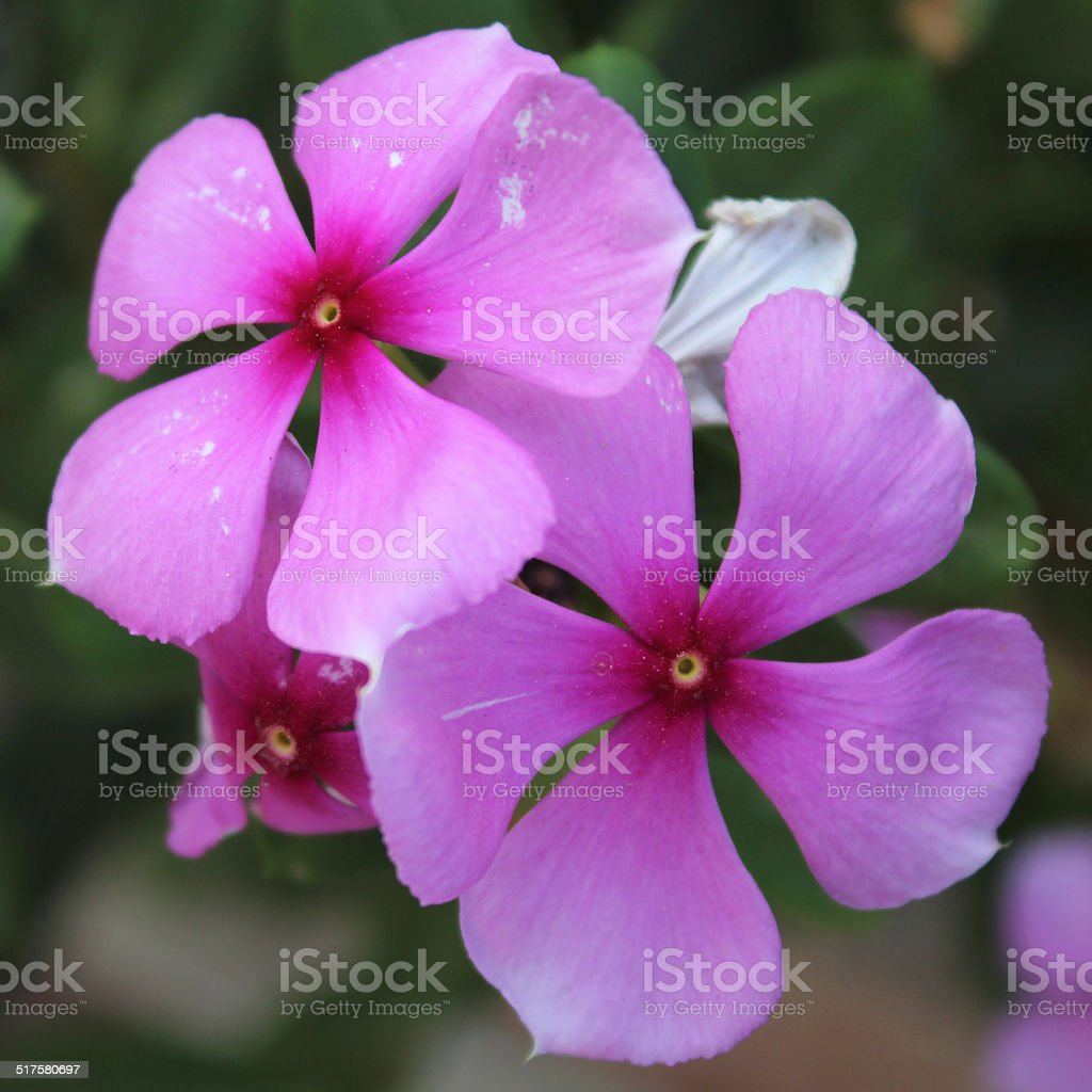 Pink Periwinkle Flower Stock Photo More Pictures Of Beauty Istock
