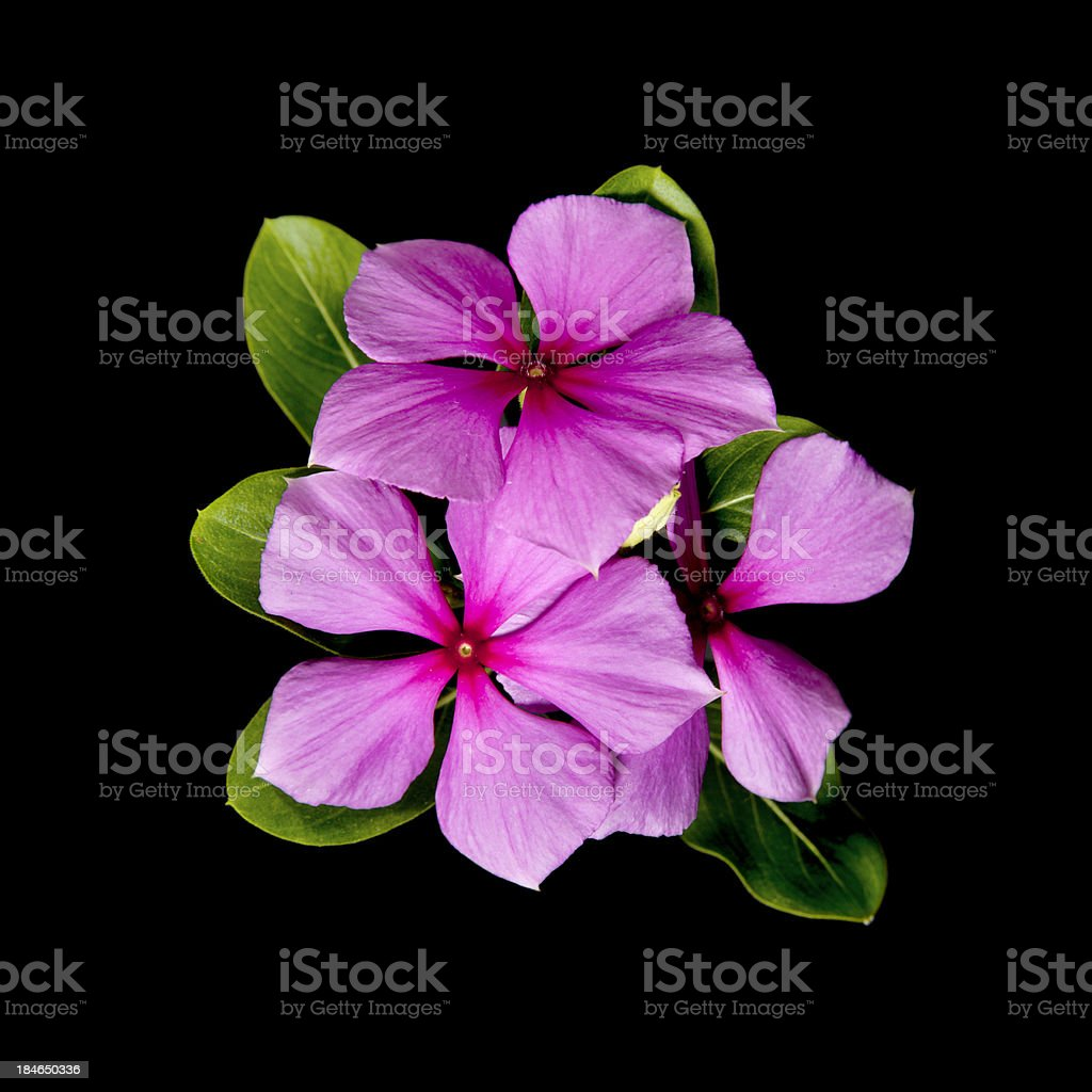 Pink Periwinkle Flowers Stock Photo More Pictures Of Beauty Istock