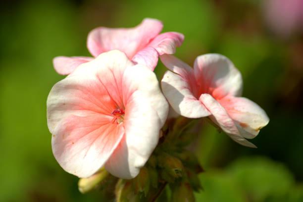 Flores de begônia petalled rosa - foto de acervo