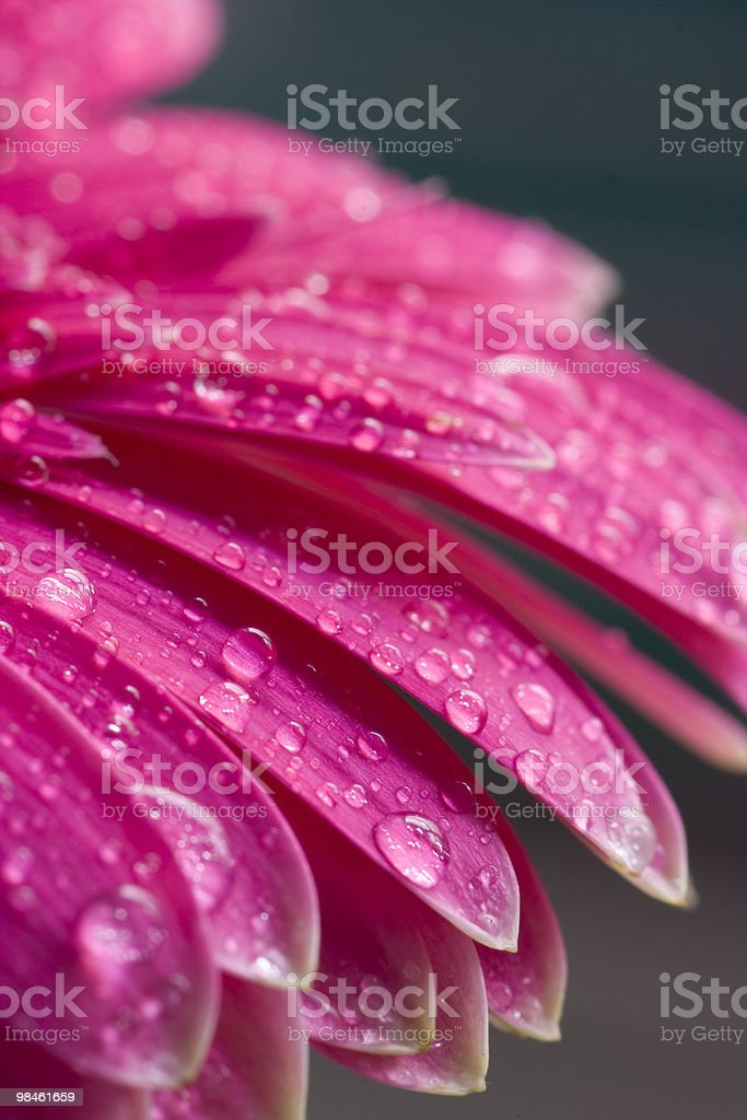 Pink Petals royalty-free stock photo