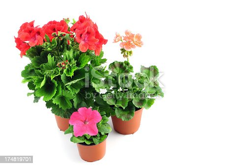 pink Petunia and red Pelargonium (Cransbill) in flower pot at isolated white background. Geranie.See also my other images
