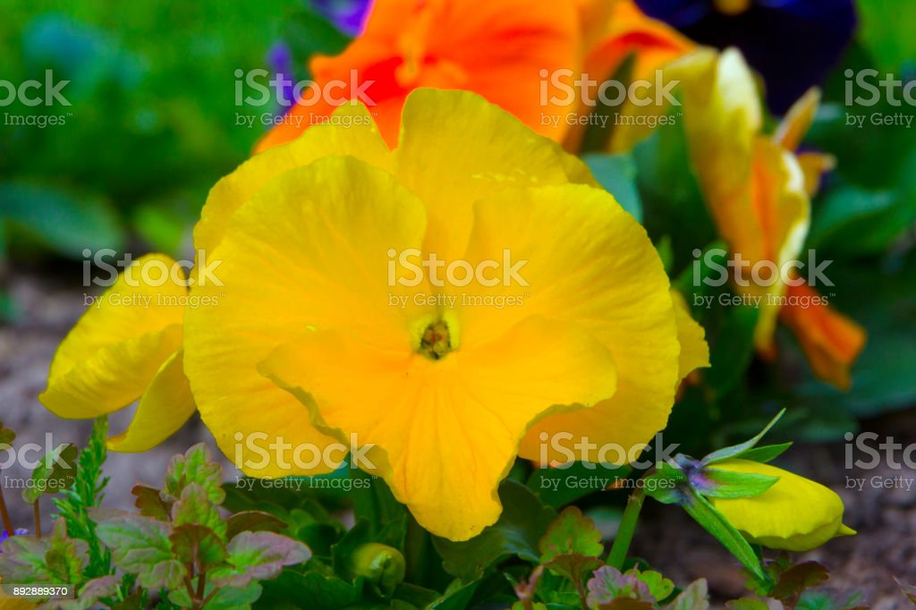 Pink Petunia flowers in the garden close up stock photo