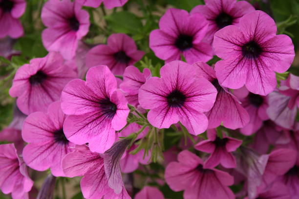 Pink petunia # 3 stock photo