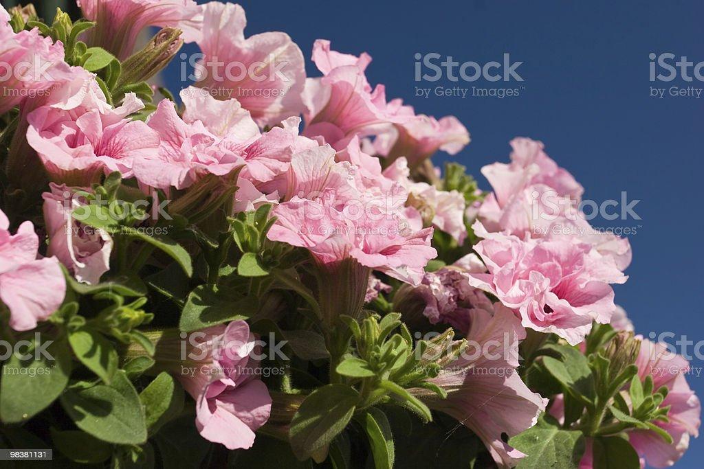 Rosa Petunia foto stock royalty-free