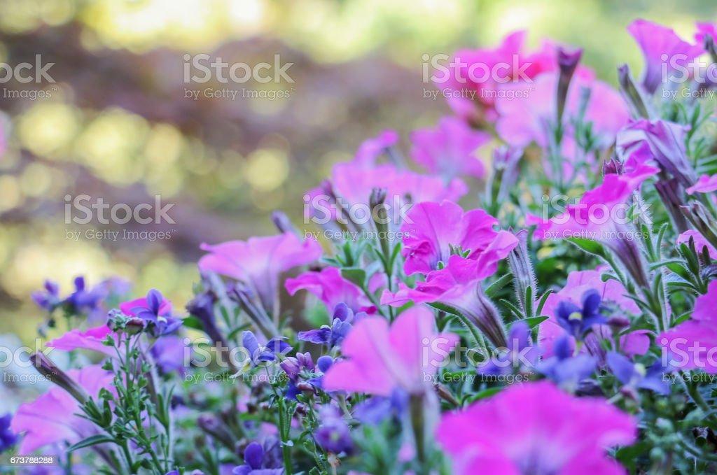 petunias Rose et bleu Lobélie photo libre de droits