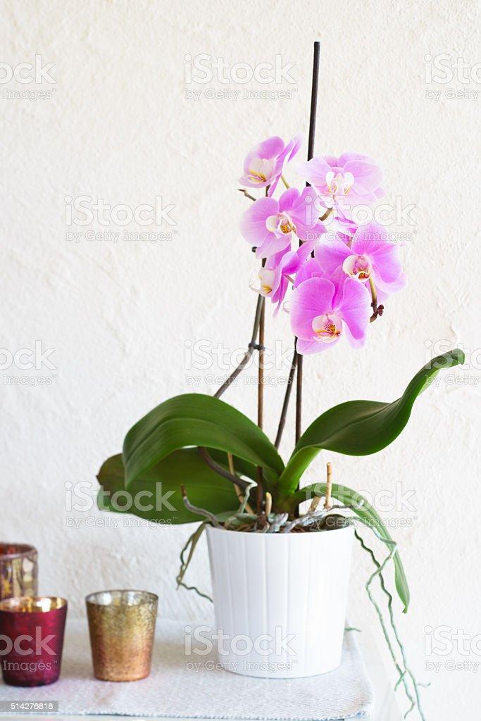 Pink phalaenopsis in white ceramic pot stock photo