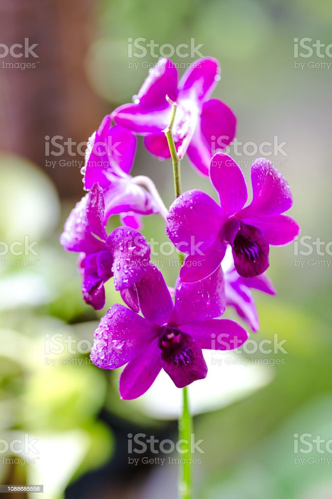 Pink Phalaenopsis or Moth dendrobium orchid flover green background stock photo