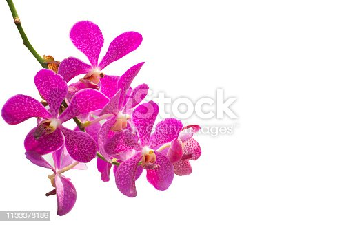 pink Phalaenopsis or Moth dendrobium Orchid flower in tropical garden isolated on white background.Selective focus.agriculture idea concept design with copy space.