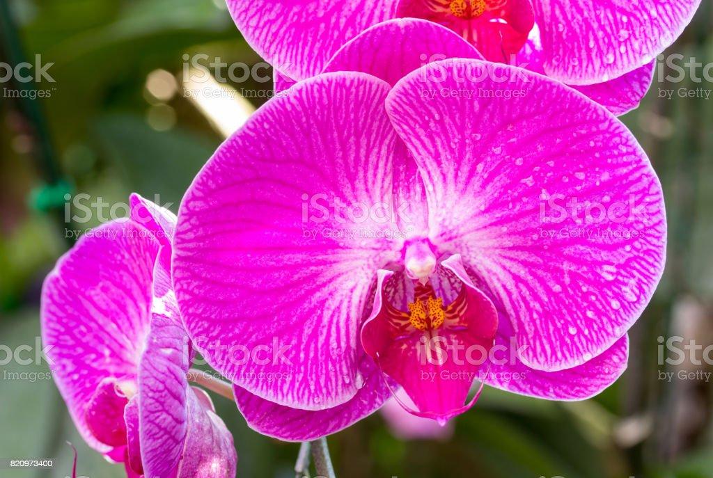 Phalaenopsis Fleur Dorchidee Rose Photos Et Plus D Images De Arbre