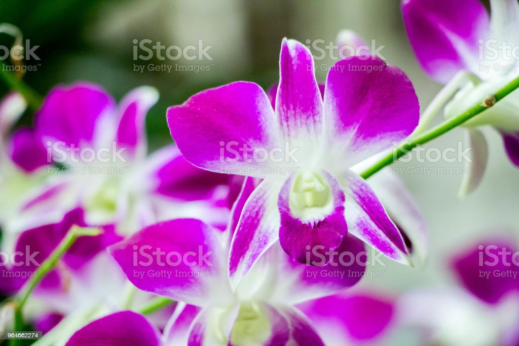 pink phalaenopsis orchid flower royalty-free stock photo
