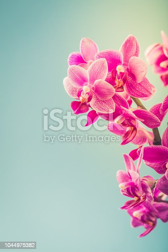 Greeting card concept design with Pink Phalaenopsis or Moth dendrobium Orchid flowers over blue. Floral background with copy space for text. Selective focus