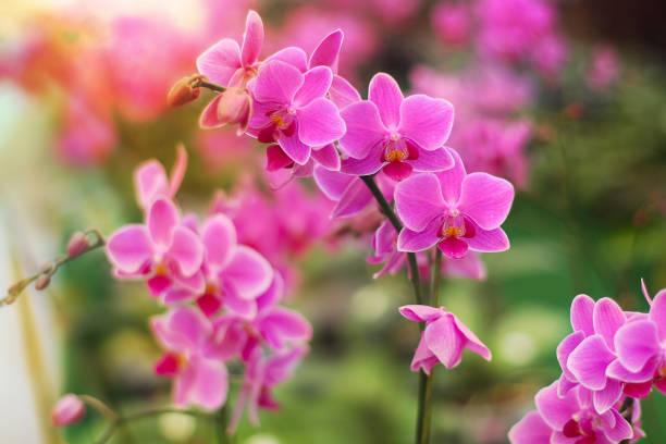 Roze bloemen van de Phalaenopsis orchidee. foto