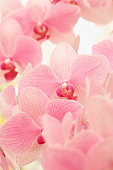 Pink Phalaenopsis orchid in full bloom