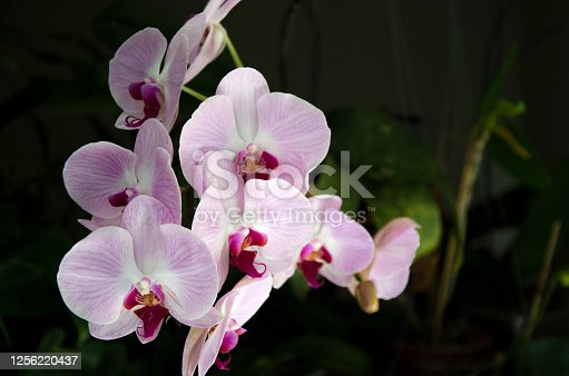 Although there are many types of orchids, Phalaenopsis performs well in the average home environment and is great for those just starting out.