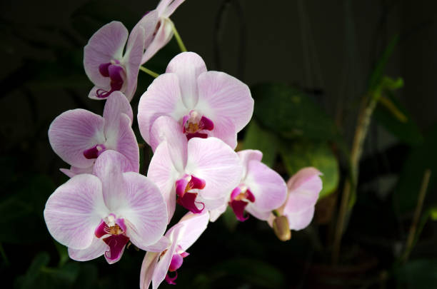 Pink Phalaenopsis Orchid or Moth Orchid stock photo