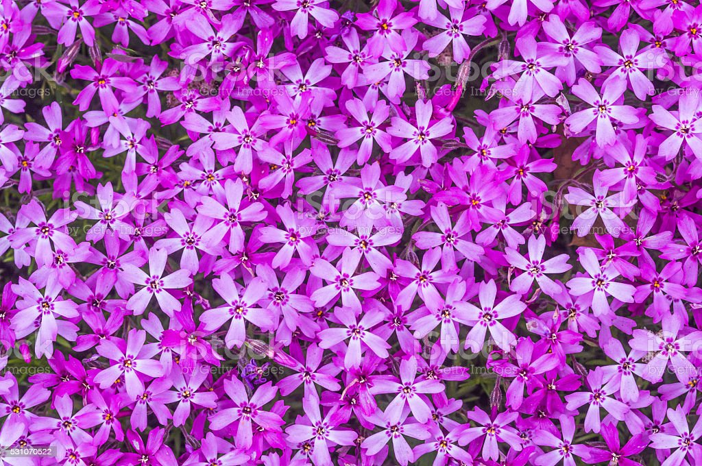 Pink Phlox Background stock photo