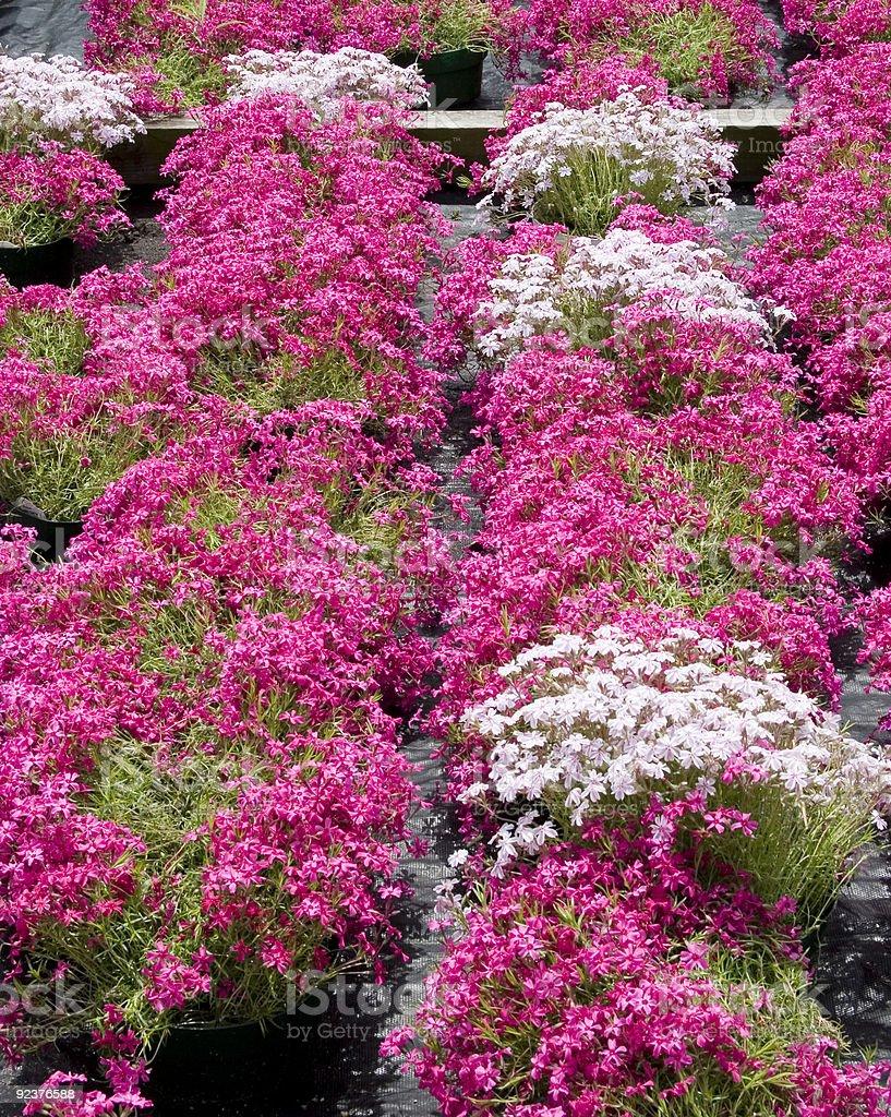 Pink Phlox royalty-free stock photo