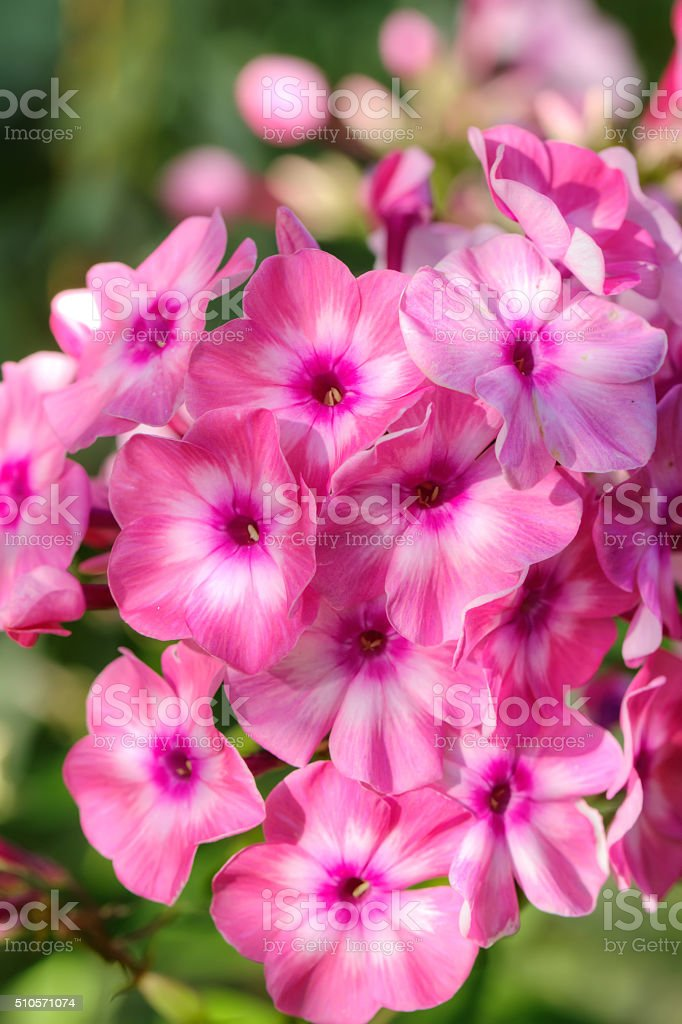 Pink phloxes. Cultivated flower. stock photo