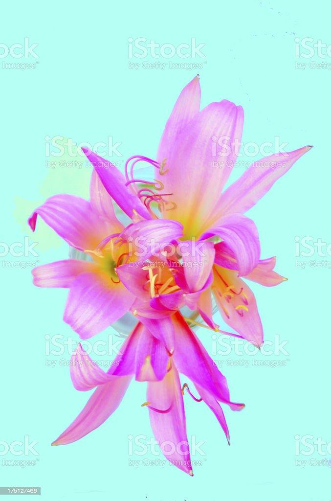 Pink royalty-free stock photo