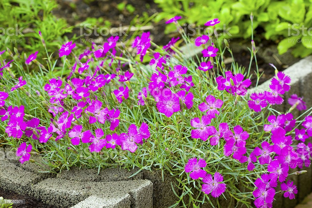 Pink (Dianthus deltoides) stock photo