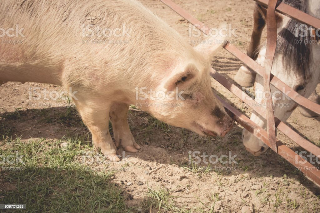 Pink pig making friends with a horse stock photo