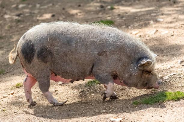pink pig - pig ugly stock-fotos und bilder