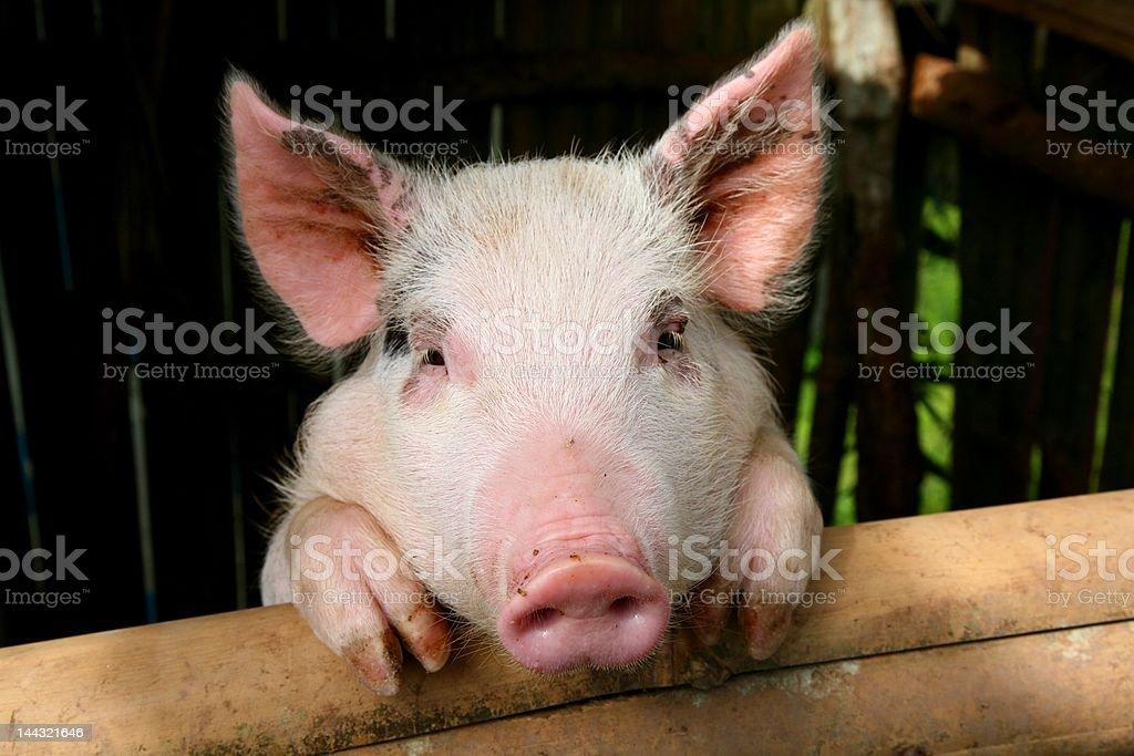 pink pig Lizenzfreies stock-foto
