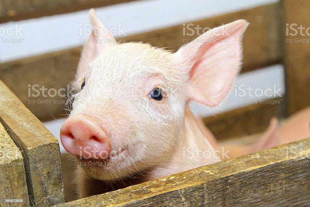 Pink pig stock photo