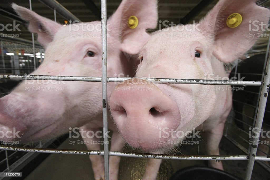 Pink Pigs in a cage stock photo