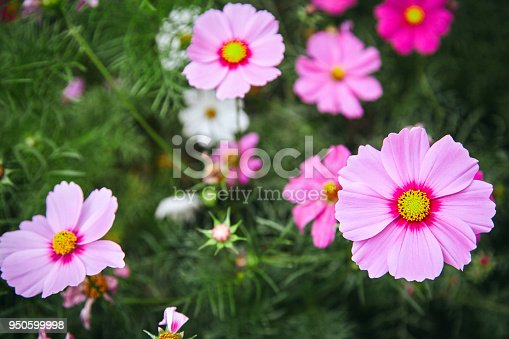 The beautiful pink flower in nature, PInk plants nature garden cosmos flower cosmea
