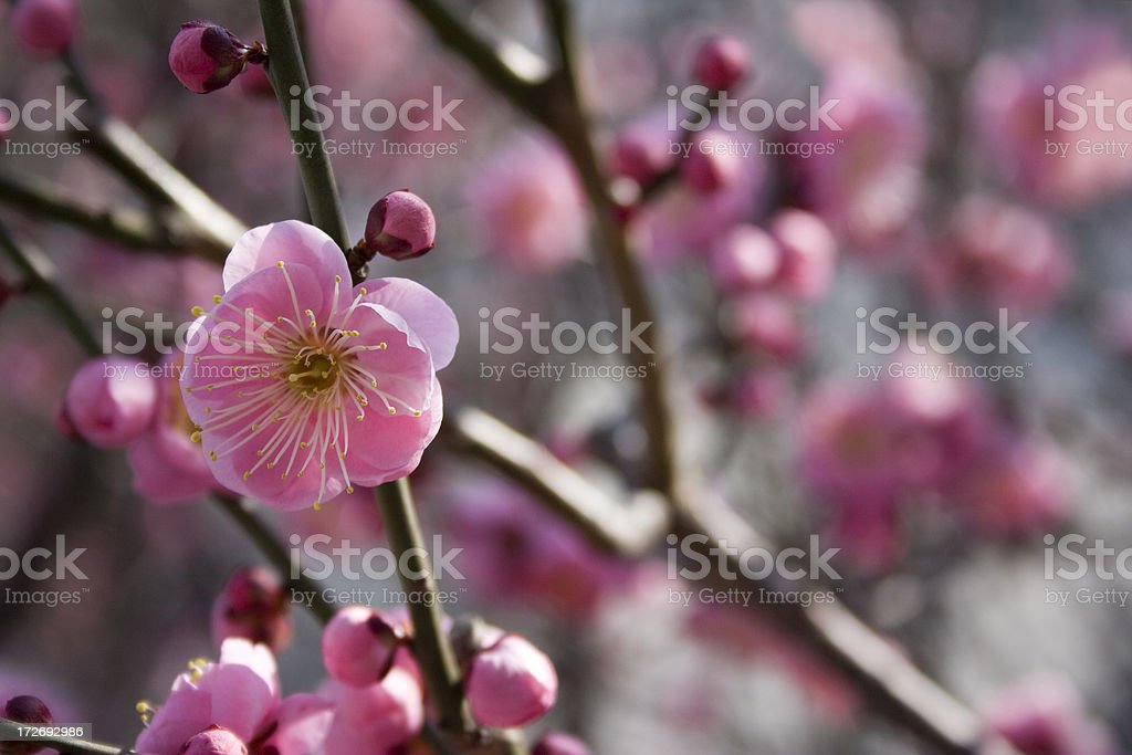 Pink Plum Blossoms royalty-free stock photo