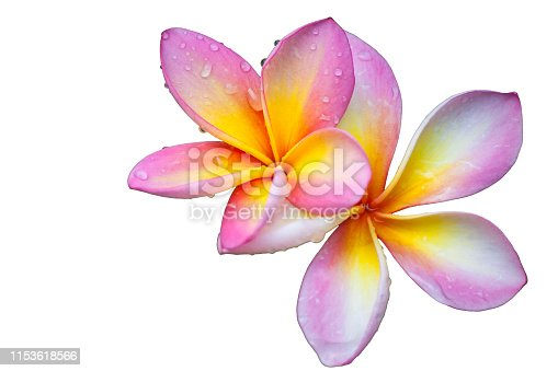Pink plumeria flowers on a white background