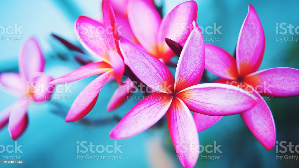 Pink plumeria on light blue background stock photo