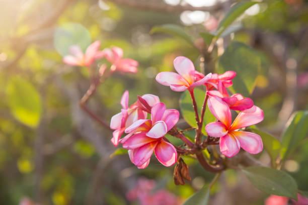 Rosa Plumeria oder Frangipani Blume Blüte auf Baum. – Foto