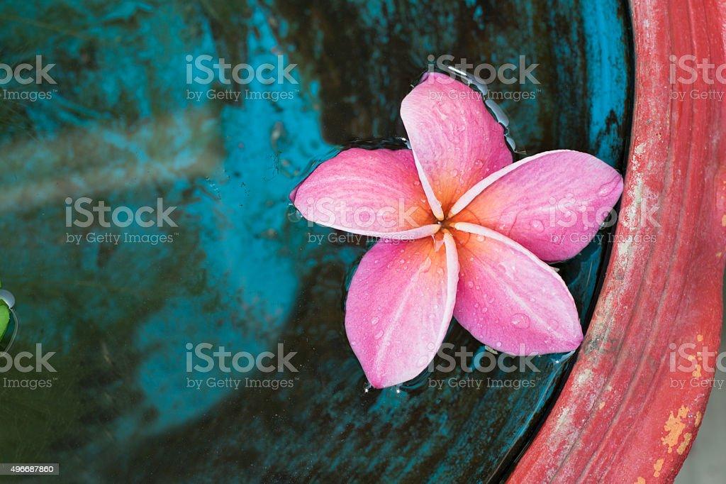 pink plumeria foto