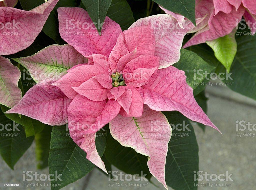Pink Poinsettias Christmas Flowers royalty-free stock photo