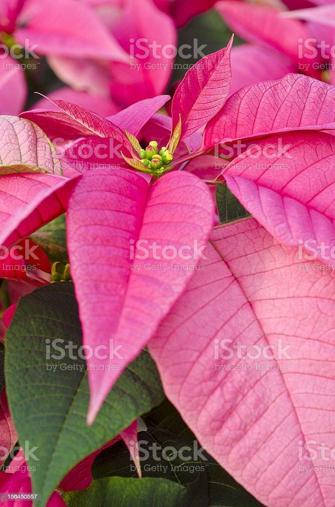 Pink Poinsettias stock photo