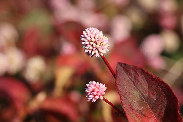 pink polygonum and the red leaf - knotweed stock pictures, royalty-free photos & images