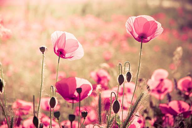 Pink poppies stock photo
