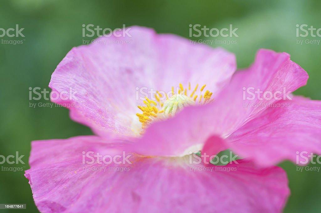 Pink poppy close-up royalty-free stock photo