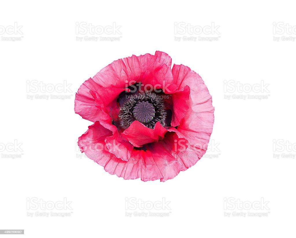Pink poppy flower stock photo