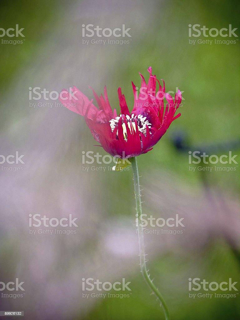 Pink Poppy royalty-free stock photo