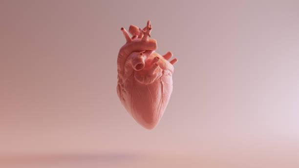 Pink Porcelain Anatomical Heart Pink Porcelain Anatomical Heart 3d illustration 3d render sculpture stock pictures, royalty-free photos & images