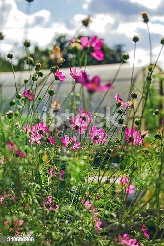 istock Pink pretty flowers of cosmea 1340686966