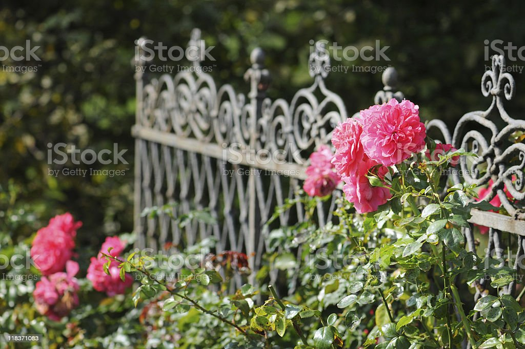 pink Prickly Rose on a fence stock photo