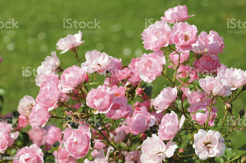 pink Prickly Rose stock photo