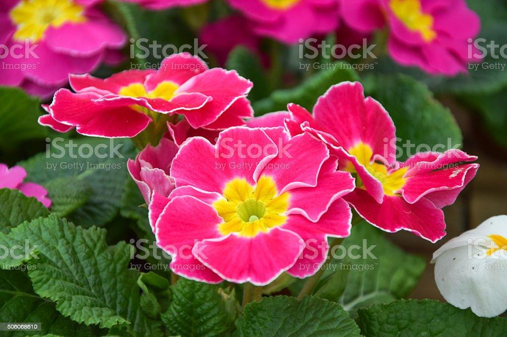 pink primrose flower, primula cultivar stock photo